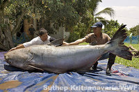 Photo of Giant Catfish in Mekon River
